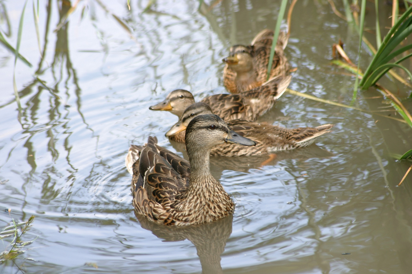 Mallard Hen with Young