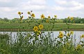 Lakefront Grouping of Woodland Sunflowers