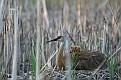 Sandhill Crane Chicks - Relaxing on Mom