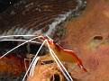 Humpback Shrimp