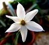Narcissus serotinus (9)