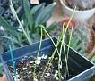 Lachenalia zebrina 30 01 2010 (1)