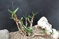 Mitrophyllam clivorum
