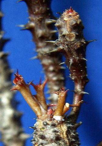 Euphorbia bulbispina