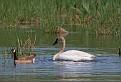 Trumpeter Swans #9