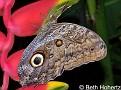 OwlButterfly001