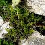 Cheilanthes fragrans (2)
