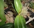 Dendrobium tetragonum var giganteum