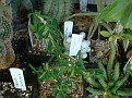 Euphorbia neobosseri
