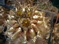 Eriosyce calderana