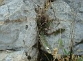 Cheilanthes vellea (2)