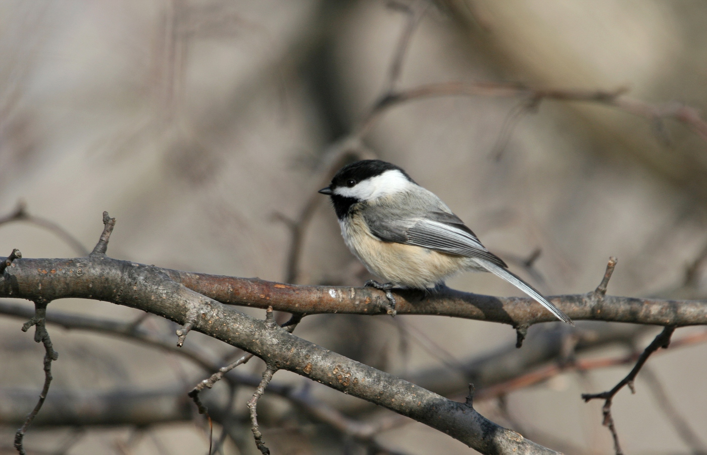 Black-capped Chickadee #3