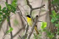Yellowthroat #2