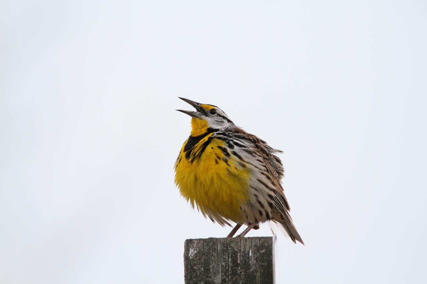 Eastern Meadowlark #21