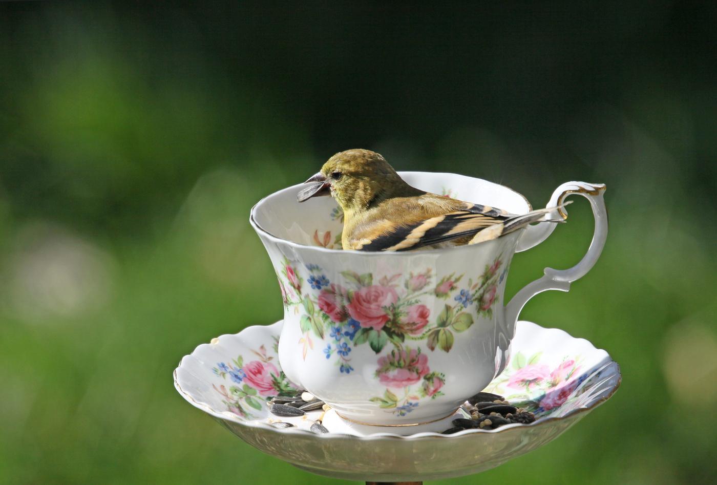Goldfinch #5