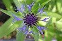 Centaurea from the Top