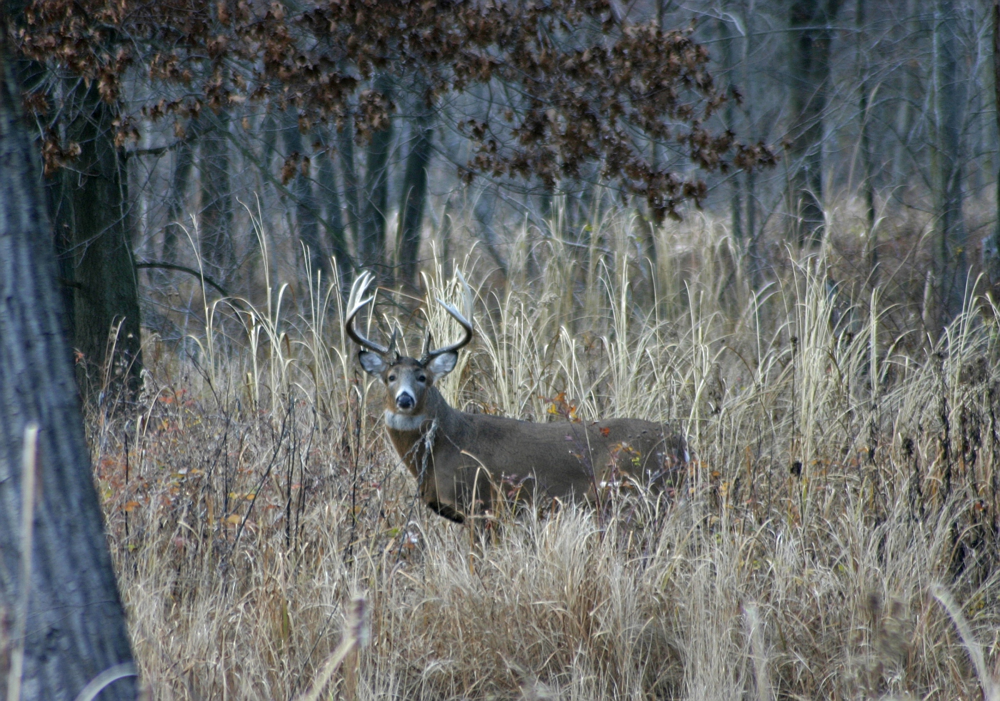 White Tailed Buck (cropped image)
