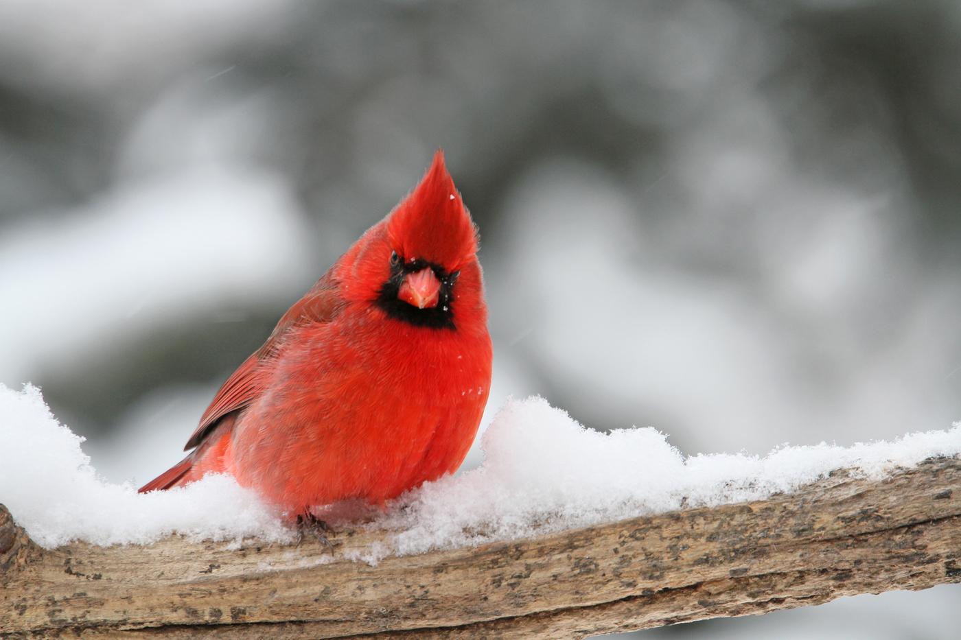 """Cardinal #17 the """"angry bird"""" look"""