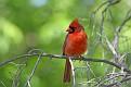 Cardinal #13