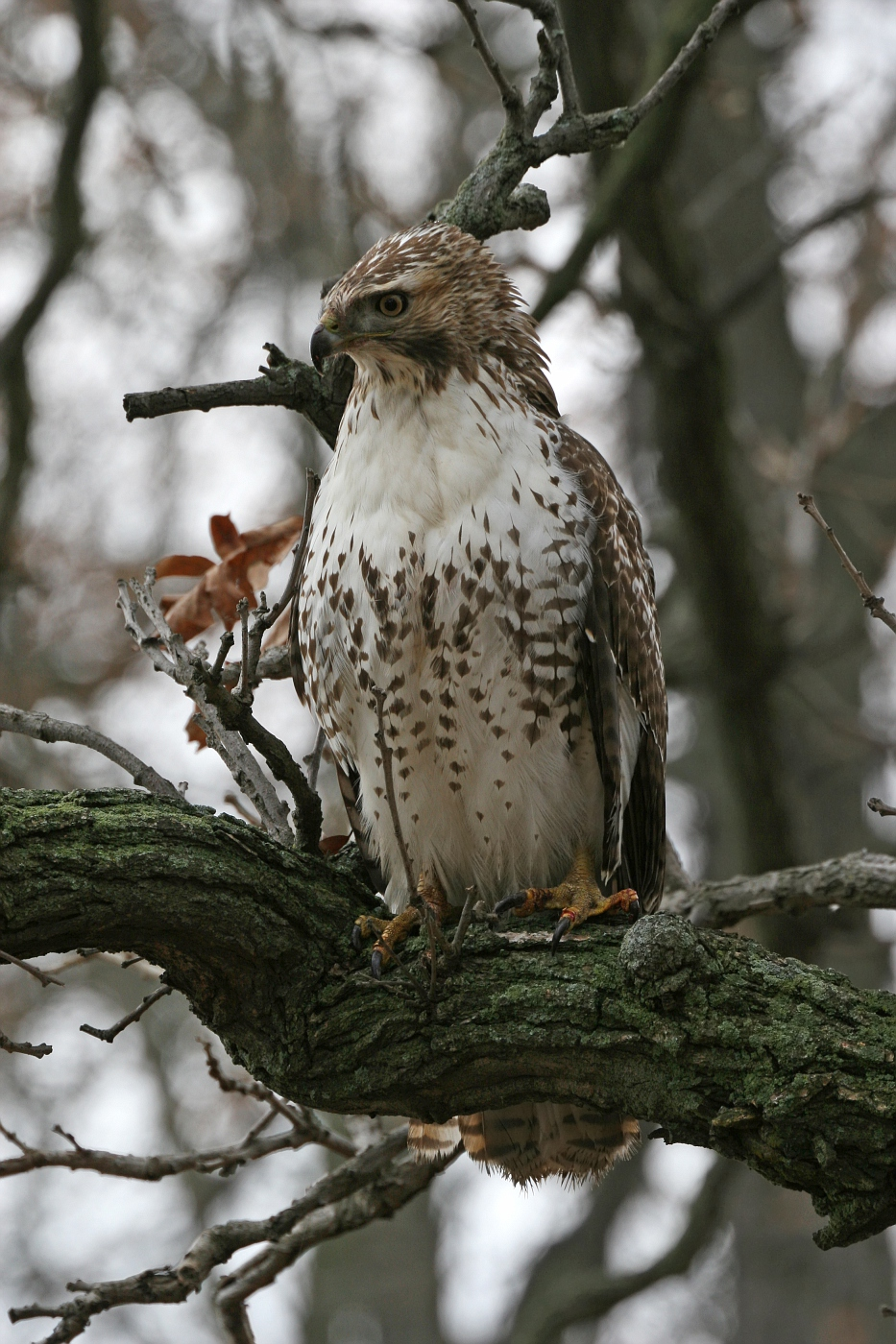 Juvenile Red Tailed Hawk #5