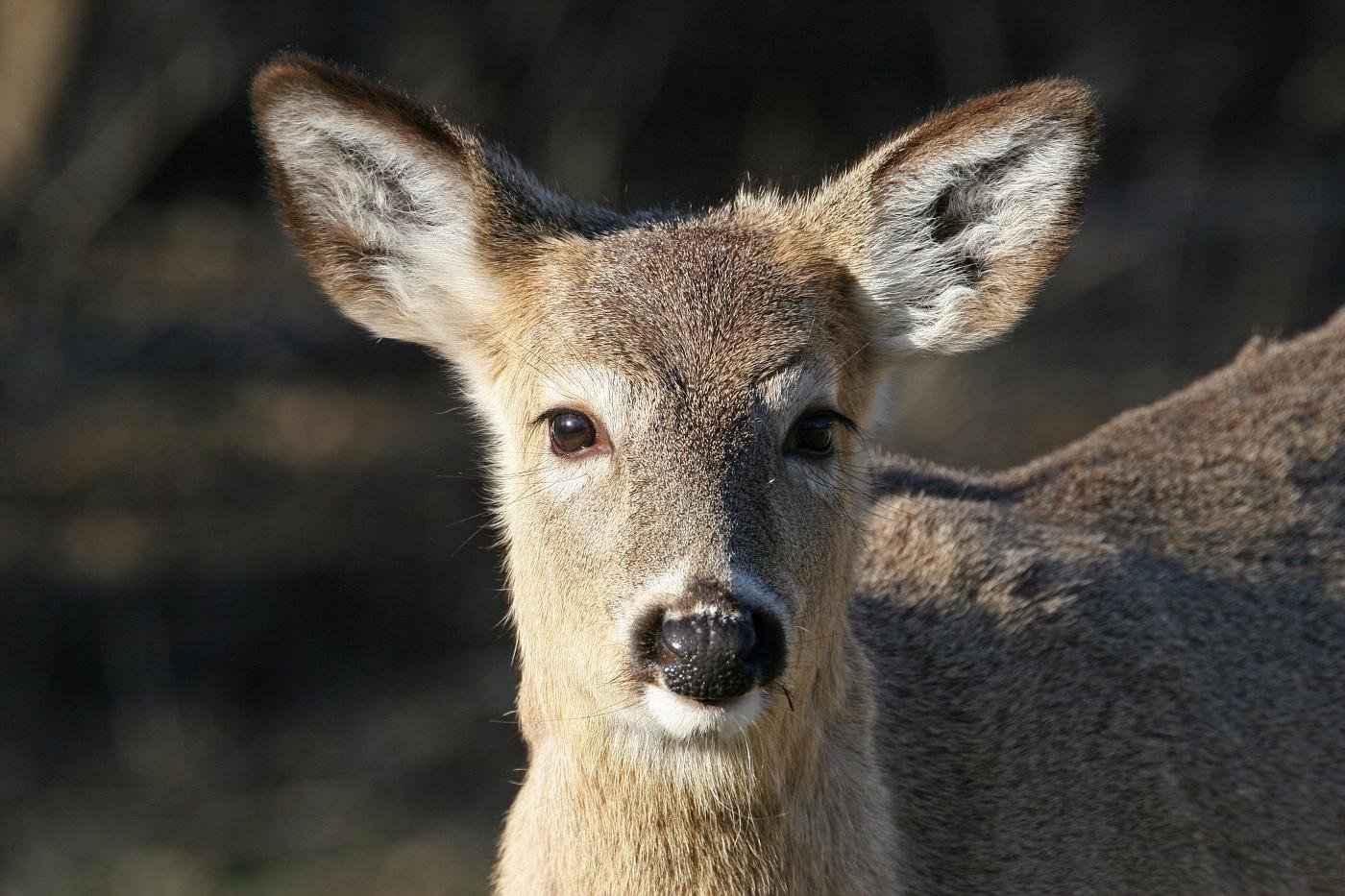 Juvenile White-tailed Deer #5