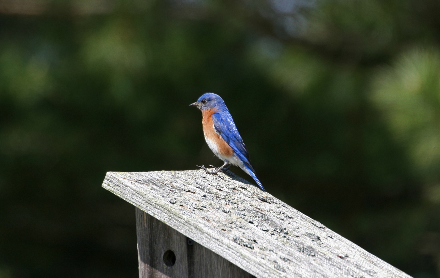 Male Eastern Bluebird #4