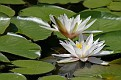 Water Lily #5