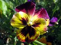 colourful pansy