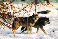05- Wolf NA