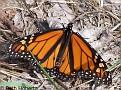 MonarchButterfly001