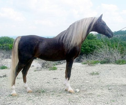 View topic - BHS: Liver Chestnut Rocky Mountain Horse ... - photo#34