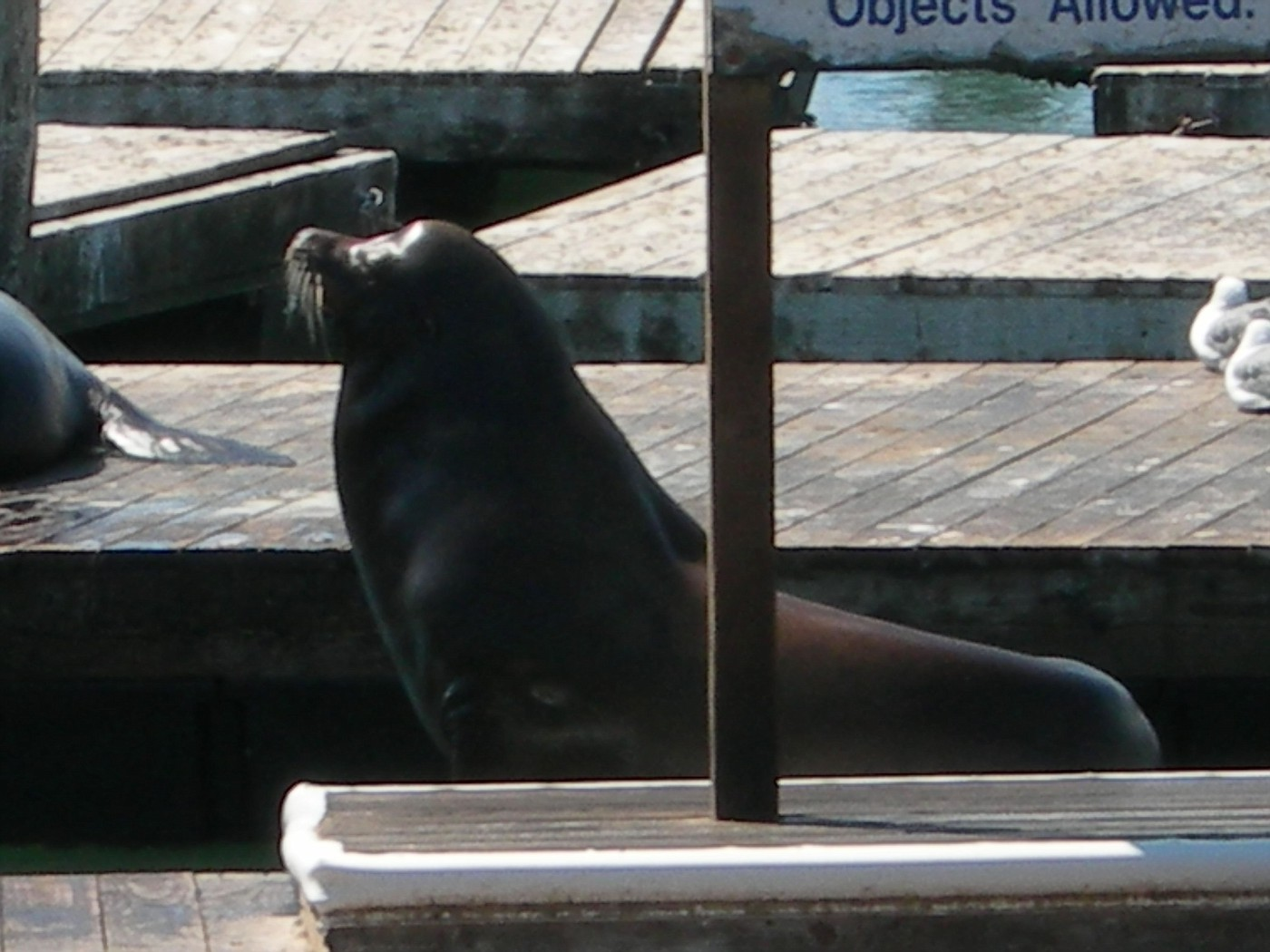 Big Sea Lion