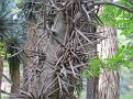 Gleditsia sinensis (8)