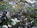 Dianthus serratifolius