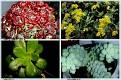 Crassulaceae  (4)