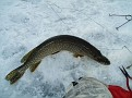 Northern Pike, 41 inches, 21lbs.  2006