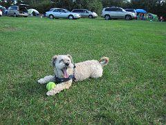 Собака-пастьраззевака