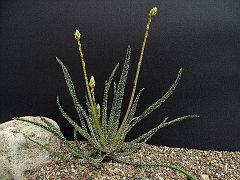 Aloe delicatifolia