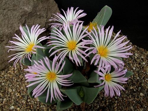 Conphytum herreanthus