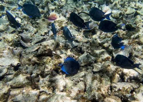 blue tang and queen conch