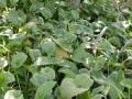 Arisarum vulgare -habitat