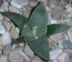 Ariocarpus retusus var. furfuraceus rostratus