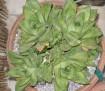 Haworthia cymbiformis -k
