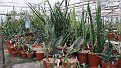 7. Sansevieria collectie