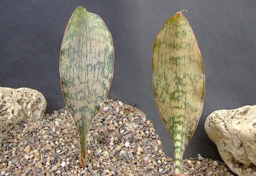 Sansevieria sp. brauwnii ?