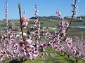 Fiori di pesco (peach blossoms)