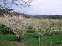 Ciliegi (Cherry trees)