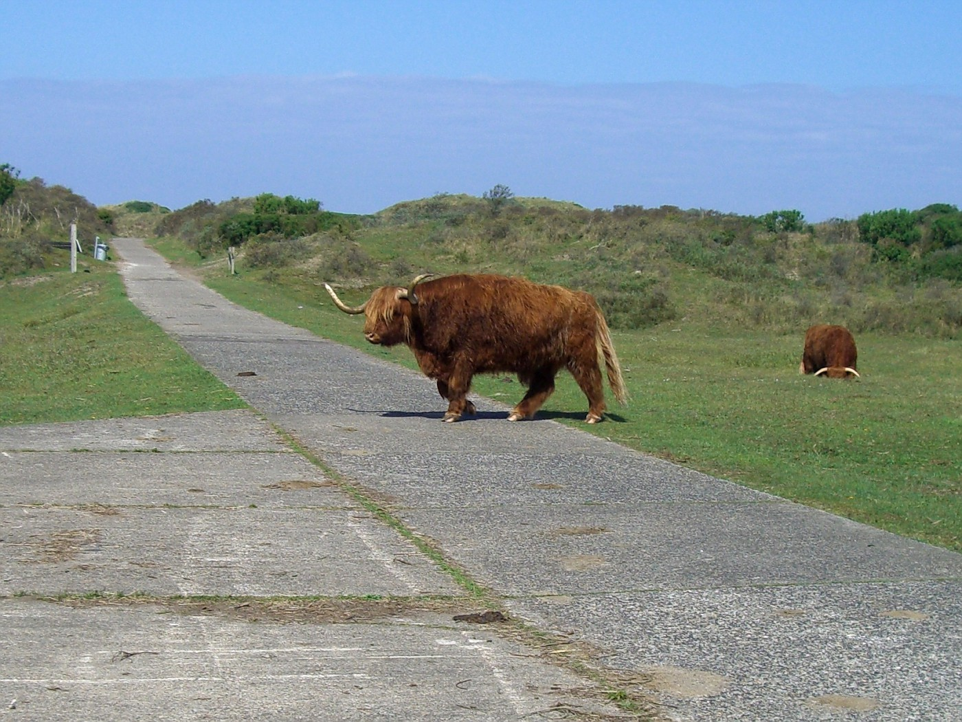 Bison crossing cycle track in Kennemerland