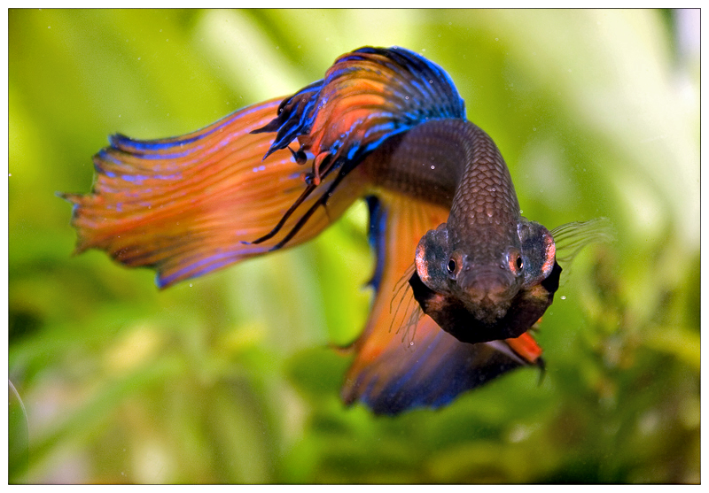 Mild dropsy and swollen gills old age for Bloated betta fish