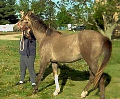 IM WIN FORTUNE #586502 (PL Prince Royale x Wind Danzin SV, by Descalo) 2001 grey gelding